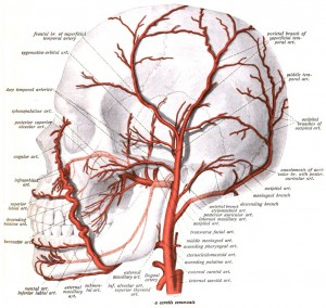 diagram of head arteries for hair loss   hair awarenessdiagram of head   arteries delivering nutrients to hair follicles